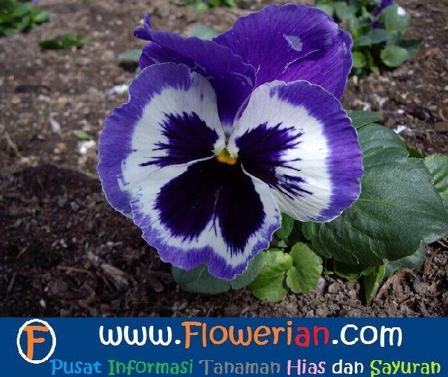 Gambar Foto Cara Menanam Bunga Viola Di Pekarangan