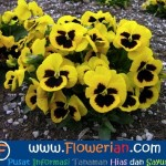 Gambar Foto Cara Menanam Bunga Viola Di Tanah