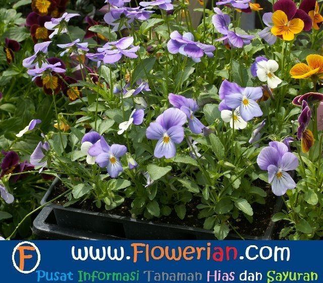Gambar Foto Cara Menanam Bunga Viola Untuk Budidaya