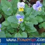 Gambar Foto Cara Menanam Bunga Viola Yang Baik dan Benar