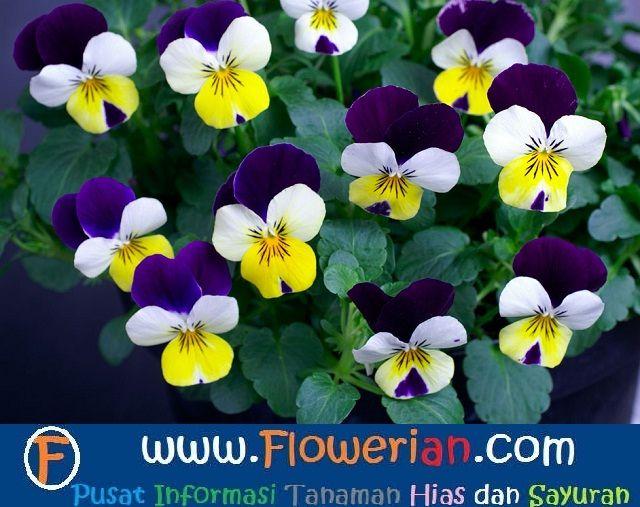 Gambar Foto Cara Menanam Bunga Viola di Dalam Pot