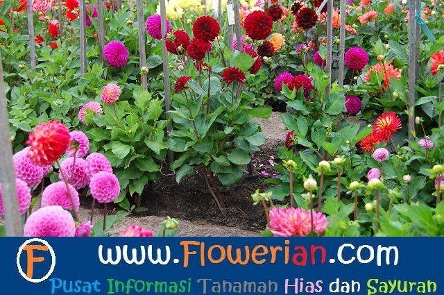 Gambar Foto Cara Menanam Bunga Zinnia Budidaya