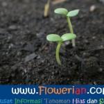 Gambar Foto Cara Menanam Bunga Zinnia di Tanah Pot