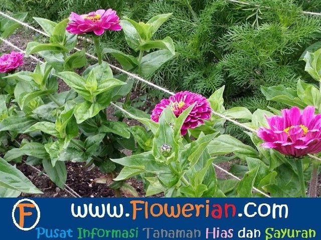 Gambar Foto Cara Menanam Bunga Zinnia yg Baik dan Benar