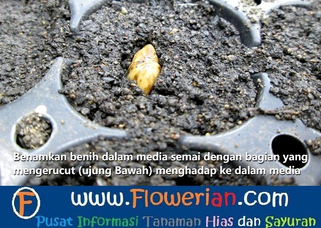 Gambar Foto Cara Menanam Bunga ZinniaDari Benih