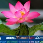 Gambar Foto Langkag Langkah Cara Menanam Bunga Teratai Air