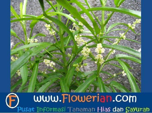 Gambar Foto Cara Menanam Bunga Zodia Untuk Hiasan