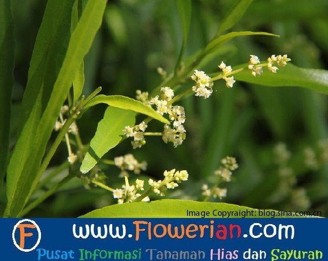 Gambar Foto Cara Menanam Bunga Zodia dan Manfaatnya