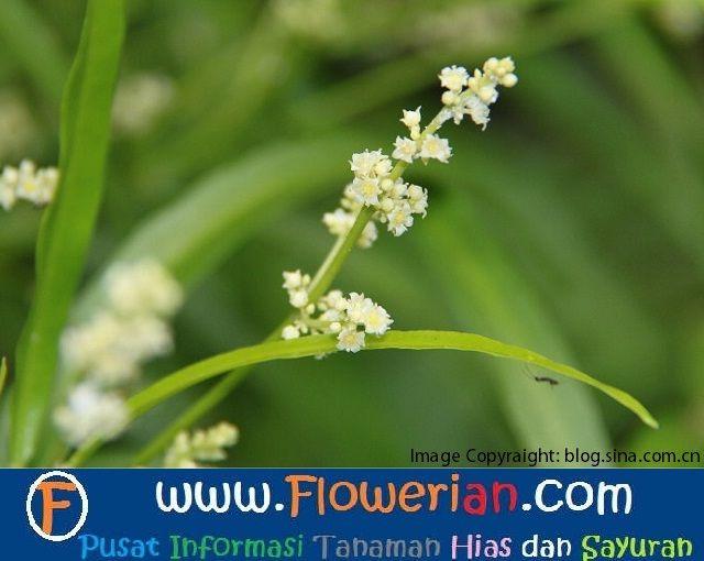Gambar Foto Cara Menanam Bunga Zodia di Rumah
