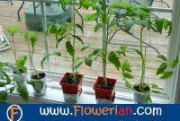 Gambar Foto Cara Menanam Tomat Dari Biji Agar Berbuah