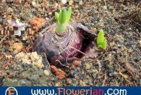 Gambar Foto Cara Menanam Bawang Merah Dari Tunas