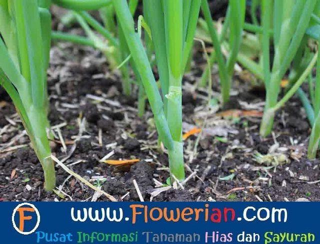Gambar Foto Cara Menanam Bawang Putih Di Tanah