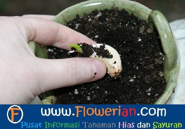 Gambar Foto Cara Menanam Bawang Putih Memilih Tunas Yang Baik