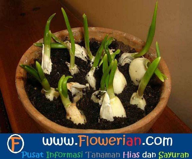 Gambar Foto Cara Menanam Bawang Putih Menggunakan Pot