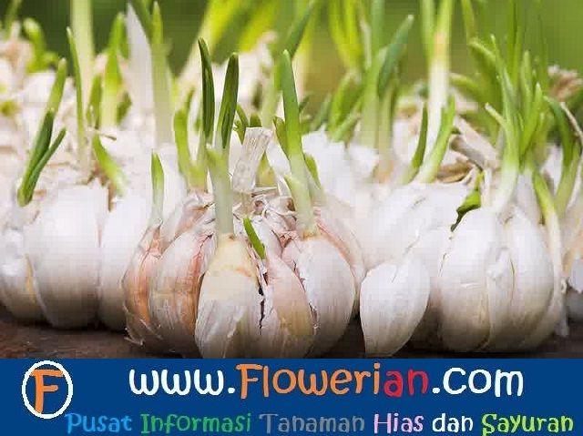 Gambar Foto Cara Menanam Bawang Putih Yang Baik dan Benar