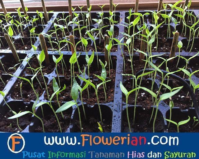 Особенности выращивания помидоров в теплице 3