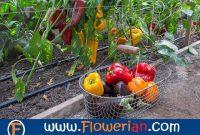 Gambar Foto Cara Menanam Paprika di Kebun Rumah