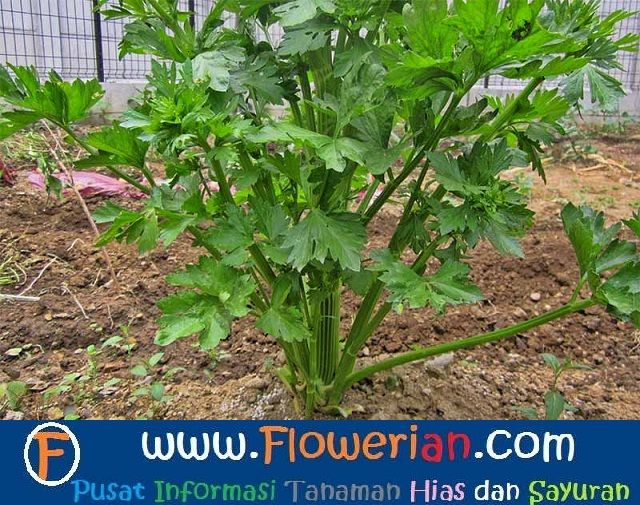 Gambar Foto Cara Menanam Seledri di Kebun Rumah