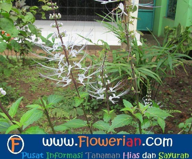 Gambar Foto Cara Menanam Bunga Kumis Kucing di Kebun Rumah