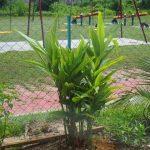 Gambar Foto Cara Menanam Lengkuas di Taman Perumahan