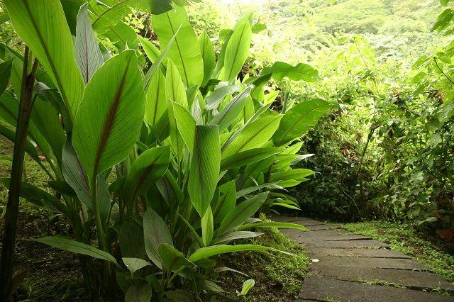 Gambar Foto Cara Menanam Temulawak di Kebun Rumah