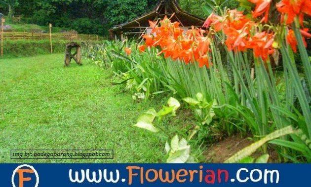 Download 93 Gambar Bunga Bakung Berkembang Biak Dengan Gratis Terbaru