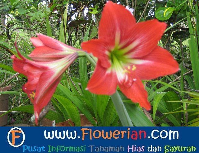 Gambar Foto Cara Menanam Bunga Bakung
