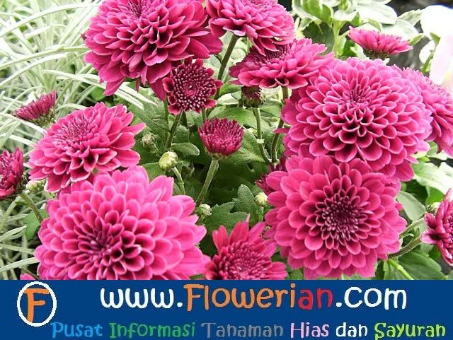 Gambar Foto cara-menanam-bunga-dahlia-agar-berbunga-cepat