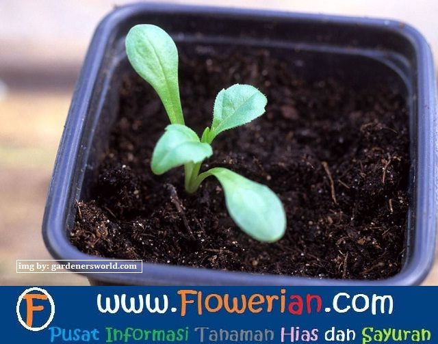 Gambar Foto cara-menanam-bunga-dahlia-darei-kecil