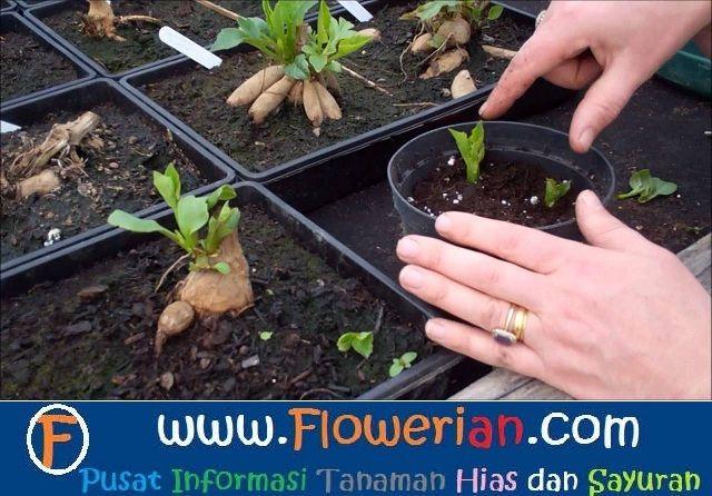 Gambar Foto cara-menanam-bunga-dahlia-di-dalam-pot