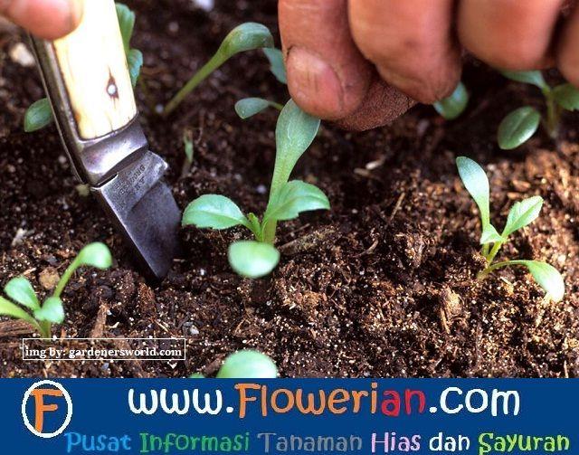 Gambar Foto cara menanam bunga dahlia mulai dari penyemaian