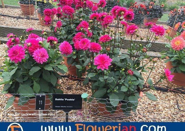 Gambar Foto cara-menanam-bunga-dahlia-untuk-dijual