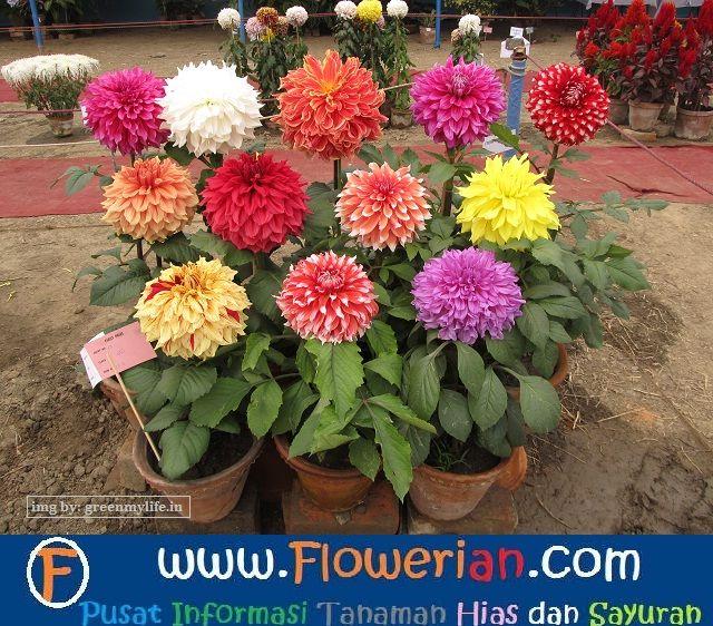 Gambar Foto cara-menanam-bunga-dahlia-untuk-hiasan-halaman