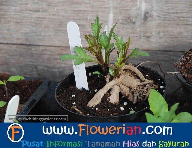 Gambar Foto cara-menanam-bunga-dahlia-dari-tunas-umbi-di-pot