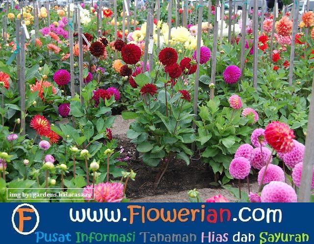 Gambar Foto cara-menanam-bunga-dahlia-di-kebun-rumah