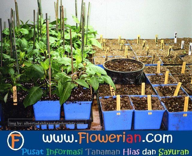 Gambar Foto cara-menanam-bunga-dahlia-untuk-budidaya