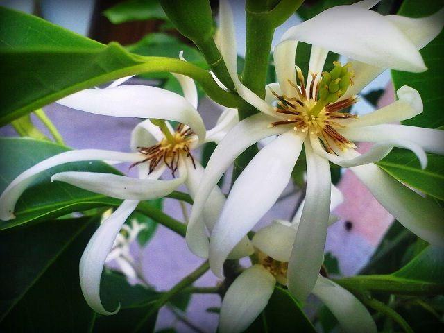 Gambar Foto cara menanam bunga kantil agar cepat tumbuh
