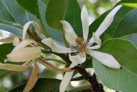 Gambar Foto cara menanam bunga kantil untuk budidaya