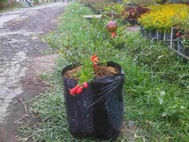 Gambar Foto cara menanam delima dari cangkokan