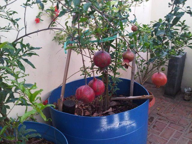 Gambar Foto cara menanam delima di pekarangan rumah