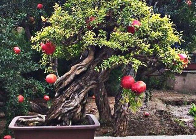 Gambar Foto cara menanam delima untuk bonsai