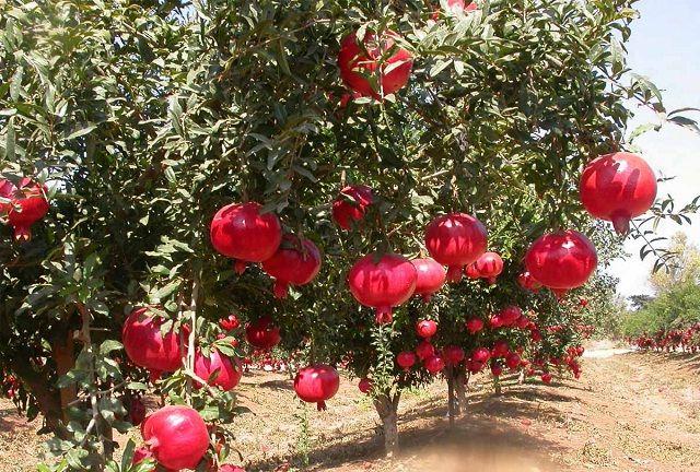 Gambar Foto cara menanam delima untuk budidaya