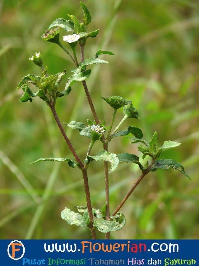 Gambar Foto Cara Menanam Urang Aring untuk Tanaman Herbal