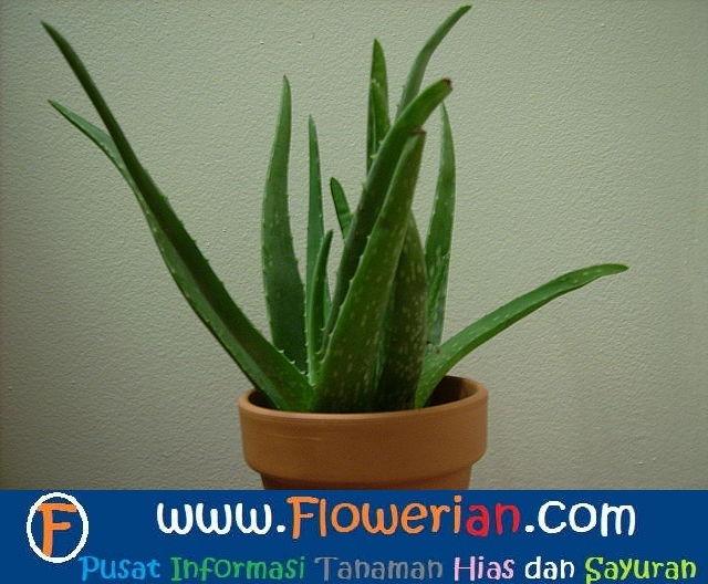 Gambar Foto cara menanam lidah buaya di pot agar subur