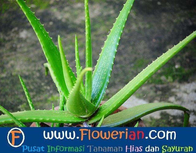 Gambar Foto cara menanam lidah buaya di dalam pot
