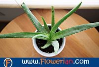 Gambar Foto cara menanam lidah buaya di dalam ruangan