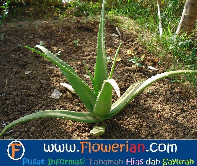 Gambar Foto cara menanam lidah buaya di kebun rumah