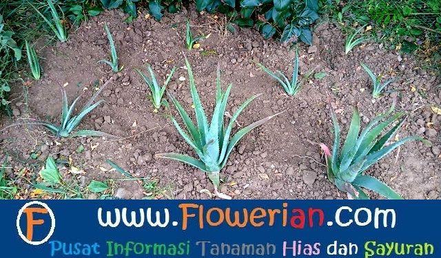 Gambar Foto cara menanam lidah buaya di tanah