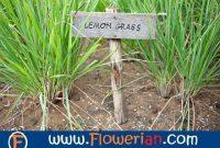 Gambar Foto cara menanam serai bagi pemula