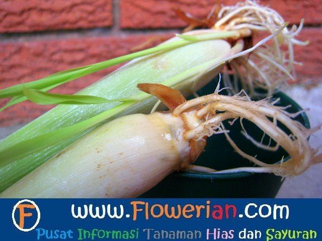 Gambar Foto cara menanam serai di rumah
